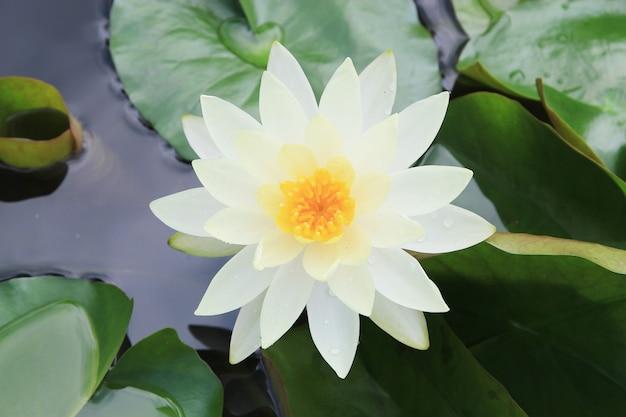 Fiore di loto giallo bianco alto vicino macro o weter lilly
