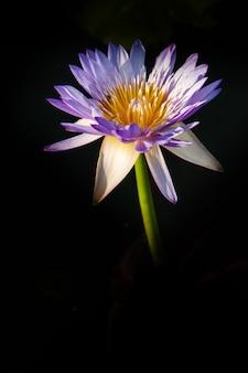 Fiore di loto in acqua calda