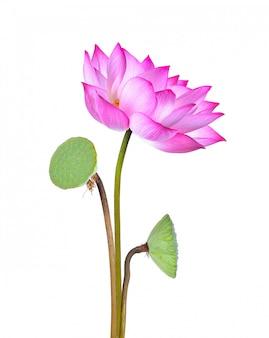 Fiore di loto isolato