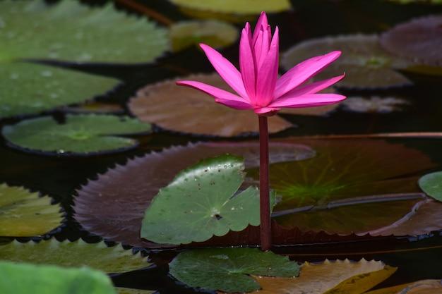Fiore di loto piantato nello stagno in fiore con bellissimi colori