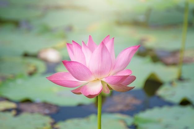 Fiore di loto rosa che fiorisce fra le foglie fertili in stagno sotto il sole luminoso di estate