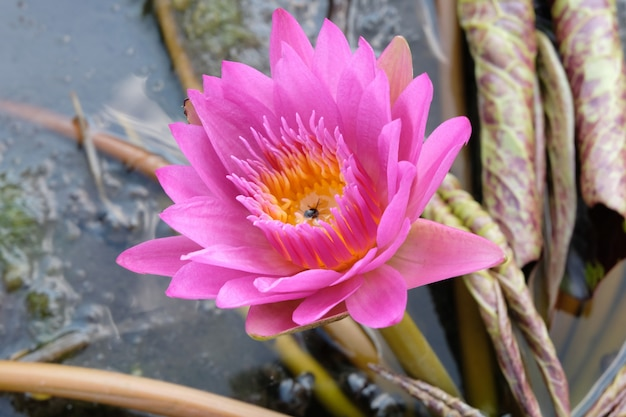 Fiore di loto rosa in stagno