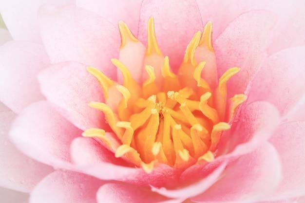 Fiore di loto rosa petalo.