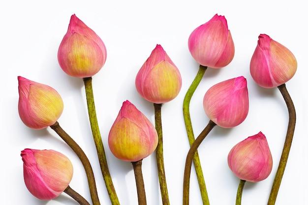 Fiore di loto rosa su fondo bianco.