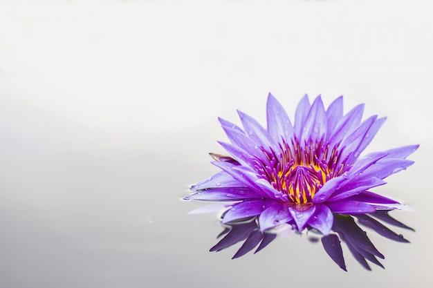 Fiore di loto un bel viola con sfondo bianco