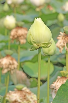 Fiore di loto verde
