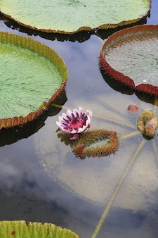Fiore di loto victoria nel lago