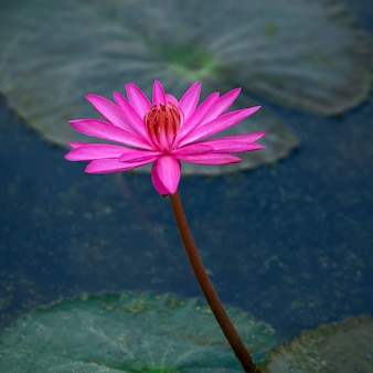 Fiore di loto viola sullo stagno.