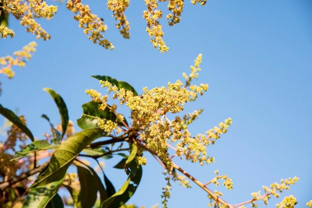 Fiore di mango