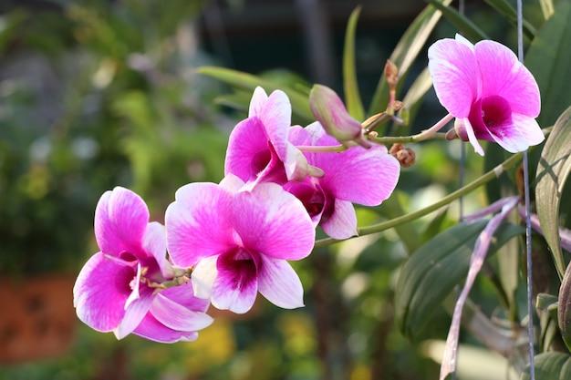 Fiore di orchidea rosa in tropicale