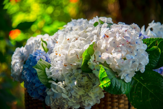 Fiore di ortensia blu (hydrangea macrophylla) o hortensia con rugiada in lievi variazioni di colore