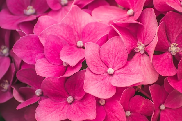Fiore di ortensia rosa (hydrangea macrophylla)