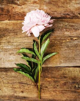 Fiore di peonia bella fresca