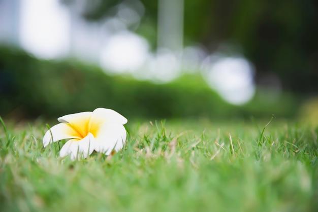 Fiore di plumeria sulla terra dell'erba verde - bello concetto della natura