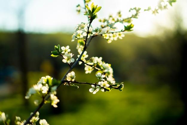 Fiore di primavera fresca o fiore dell'albero da frutto sotto il sole splendere
