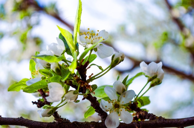 Fiore di prugna in primavera