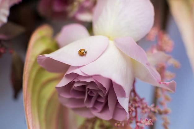 Fiore di rosa rosa fresco delicato a macroistruzione
