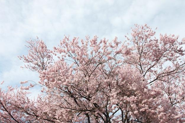 Fiore di sakura o cherry blossom.