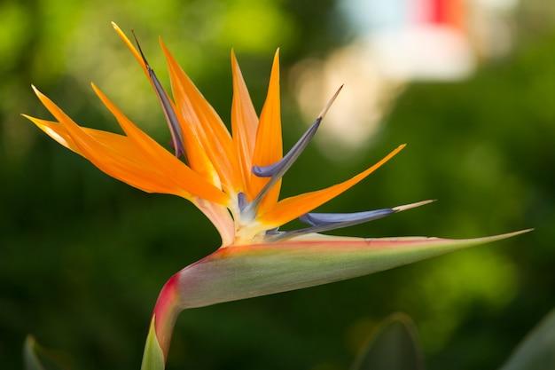 Fiore di strelitzia reginae