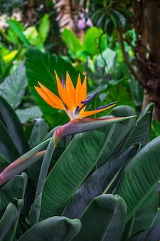 Fiore di strelitzia