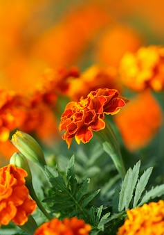 Fiore di tagetes