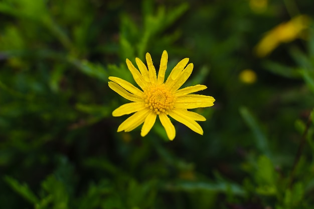 Fiore di tarassaco in uno spazio verde sfocato. sfondo di primavera