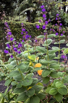 Fiore di tibouchina urvilleana