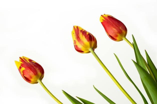 Fiore di tulipano rosso e giallo con foglie verdi su sfondo bianco.