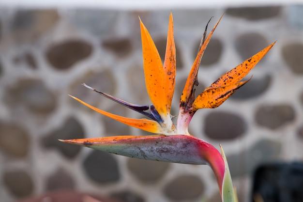 Fiore di uccello del paradiso