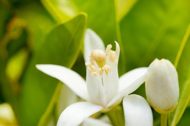 Fiore di zagara in primavera in impollinazione
