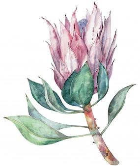 Fiore esotico acquerello protea. illustrazione disegnata a mano