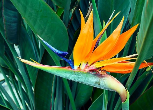 Fiore esotico di strelitzia reginae in giardino tropicale di tenerife