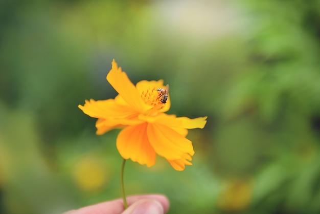 Fiore giallo a disposizione con l'ape sul fiore del tagete del polline nel verde della natura