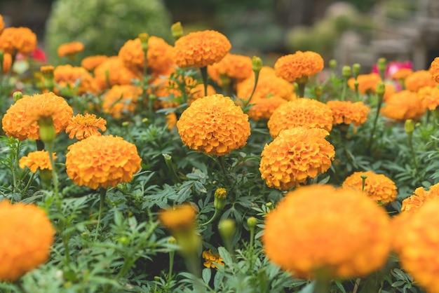 Fiore giallo del tagete nella fine del giardino su
