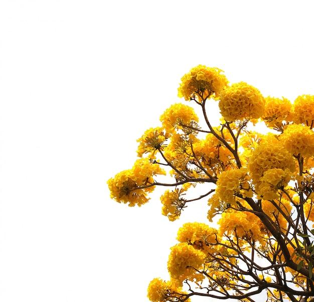 Fiore giallo di tabebuia in fioritura sull'albero isolato su fondo bianco.