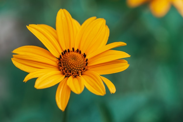 Fiore giallo succoso variopinto con il centro arancio e petali puri piacevoli vividi