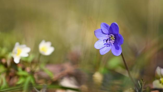 Fiore primaverile. bella fioritura primi piccoli fiori nella foresta. hepatica. (hepatica nobilis)