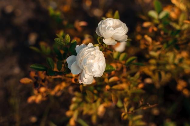 Fiore rosa bianco su un cespuglio contro delle foglie verdi confuse nel giardino.