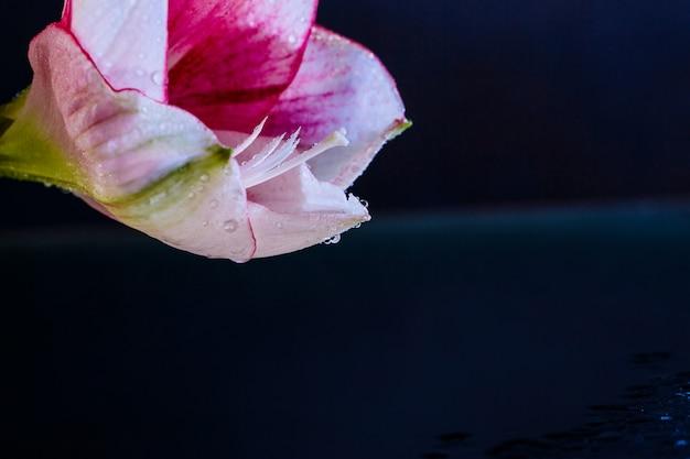 Fiore rosa con gocce d'acqua su sfondo blu scuro.