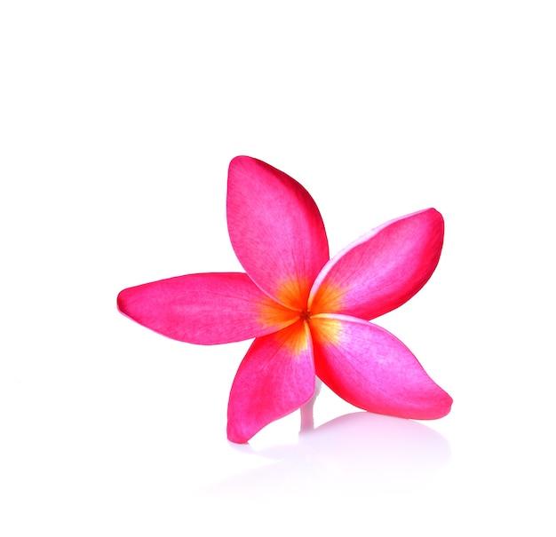 Fiore rosa del frangipane su bianco