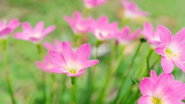 Fiore rosa del giglio di zephyranthes in un giardino.
