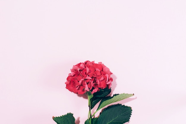 Fiore rosa dell'ortensia con ombra dura su fondo pastello