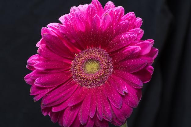 Fiore rosa della gerbera con le gocce di acqua sul fondo nero del primo piano
