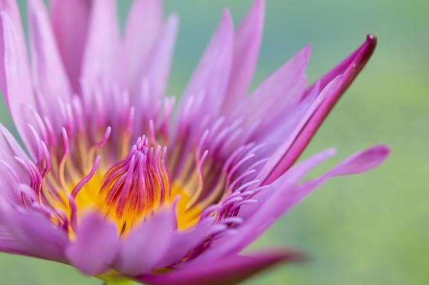 Fiore rosa della ninfea del loto del primo piano