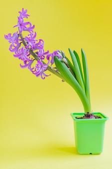 Fiore rosa di fioritura del giacinto in vaso di plastica verde