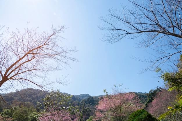 Fiore rosa di sakura (fiore di ciliegia) sulla montagna in chiang mai, tailandia