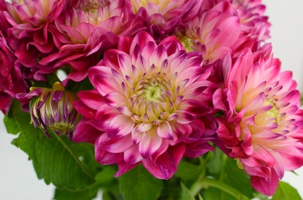 Fiore rosa e giallo della dalia su una fine bianca del fondo su