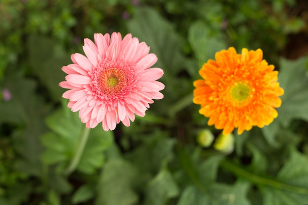 Fiore rosa ed arancio della margherita della gerbera