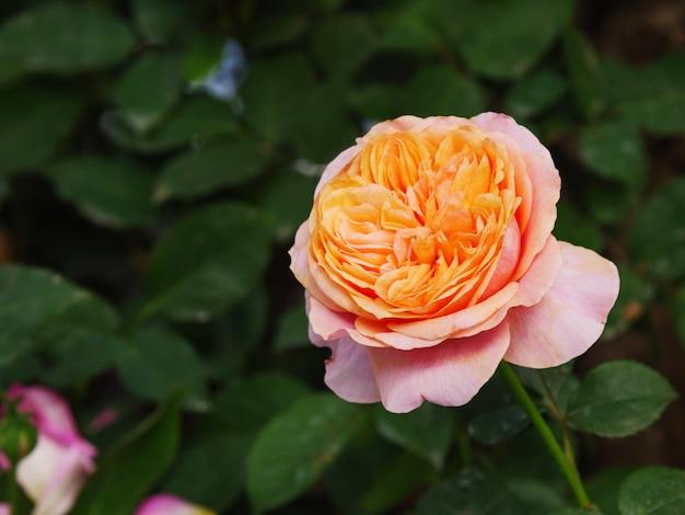Fiore rosa fresco e naturale di fioritura del colpo del primo piano contro una profondità di campo bassa del fuoco selezionato del prato verde