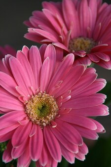 Fiore rosa gerbera gerbere fiore margherita